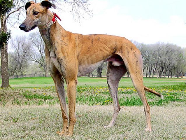 Greyhound_Kiowa_Sweet_Trey-big