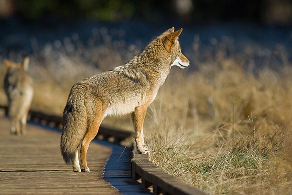Legenda-o-koyote