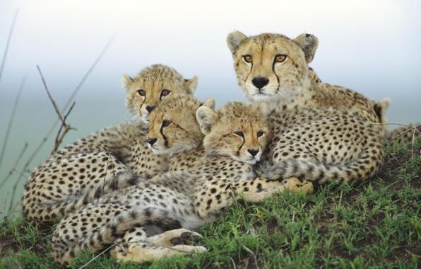 gepard-mat-detenyshi-semya