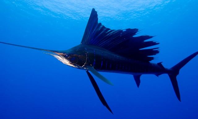 sailfish-640x387